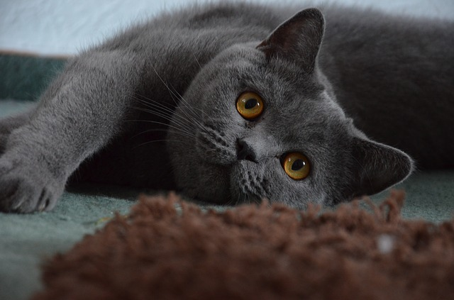 British Shorthair Cat Relaxing